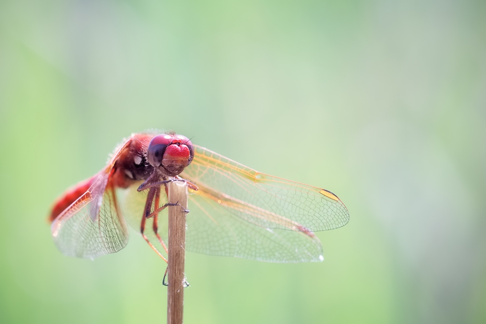 cardinal meadowhawk dragonfly, Pender Island B.C.