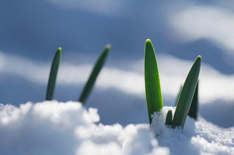 daffodils in snow, Pender Island B.C.